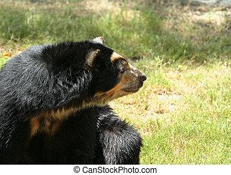 spectacled, niedźwiedź, patrząc, bok