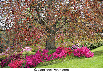 spectacular flowering of azaleas and rhododendrons -...