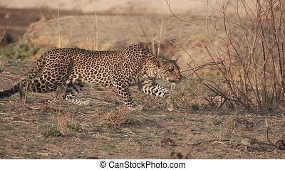 Spectacular Leopard in super slow motion - Profile view of...