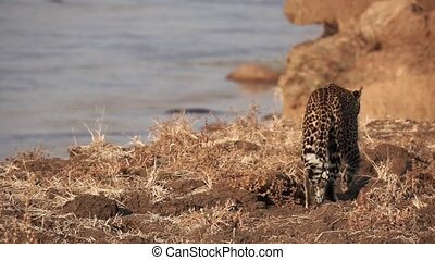Spectacular leopard walking in super slow motion