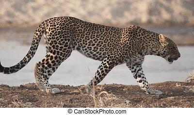 Spectacular Leopard walking near river in super slow motion