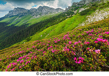 Spectacular pink rhododendron flowers in the mountains, Bucegi, Carpathians, Romania