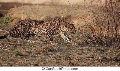 Spectacular wild leopard stalking in super slow motion 4k - ...