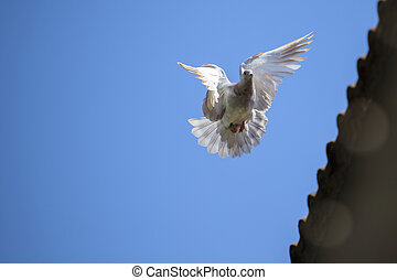 speed racing pigeon bird flying mid air against clear blue...