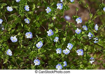 speedwell, veronica, wildflower