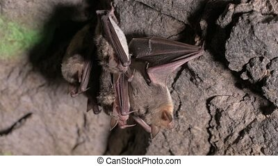 Speleological surveys in a deep cave. A group of small brown bats are sleeping on the ceiling of the cave. Wild bats in the natural environment 4k
