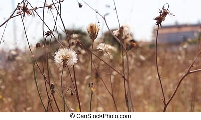 Spent and wilted dandelion wildflowers swaying in the wind....