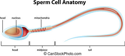 Sperm cell structure - Illustartion showing the structure of...