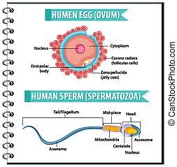 spermatazoa, sperma, mänsklig, ovum, struktur, eller, ägg, ...
