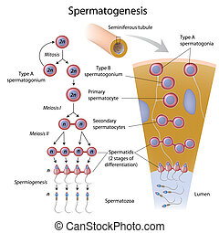 Spermatogenesis in seminiferous tubule, eps10
