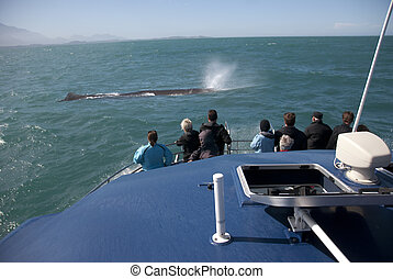 Massive Sperm whale breathing in front of whale whatching boat