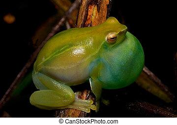 Sphaenorhynchus lacteus - green frog Spaenorhynchus calling...