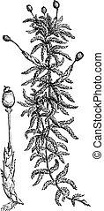 sphagnum, engraving., vendange, mousse