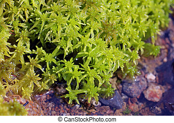 Sphagnum flexuosum moss by water - Close up of green, wet...