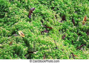 (, sphagnum, forest., hecho estallar, ermitaño, moss), lluvia, o