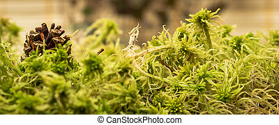 Sphagnum moss - Green sphagnum moss. Shallow depth of field.