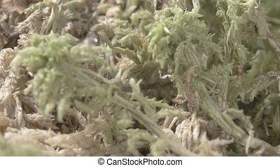 Sphagnum moss. Peat moss. Close-up. Green vegetation. - Peat...