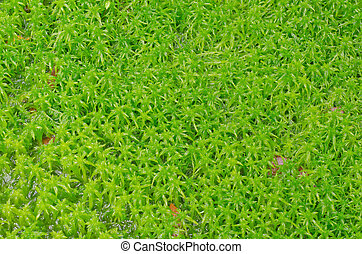 Sphagnum moss  - Sphagnum moss