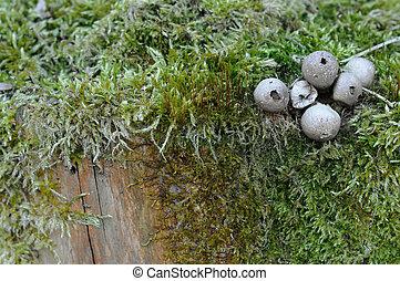 Spherical mushroom and moss on tree trunk