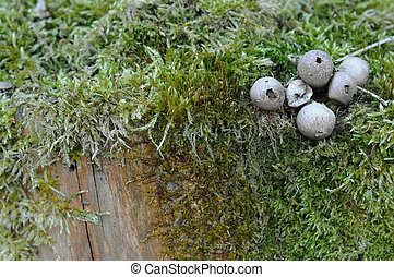 Spherical mushroom and moss on tree trunk