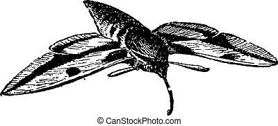 sphinx, moth, ouderwetse , moth, havik, of, engraving.