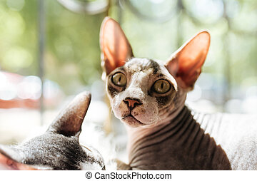 Sphynx cat looking in the camera