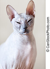 Sphynx cat portrait. Looking at the camera