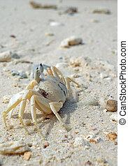 spiaggia bianca, sabbia, granchio