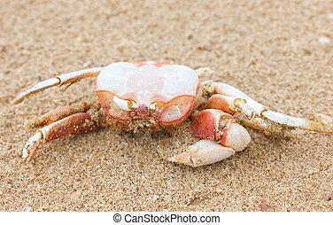 spiaggia., morto, granchio