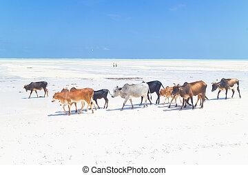 spiaggia, paje, zanzibar., bestiame