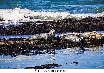 spiaggia, porto, fitzgerald, sigilli, california, muschio, marino, conserva
