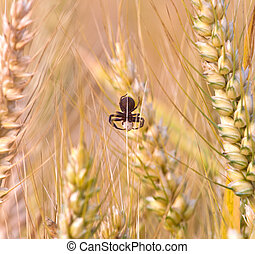 spica of corn in the field with spider in beautiful light