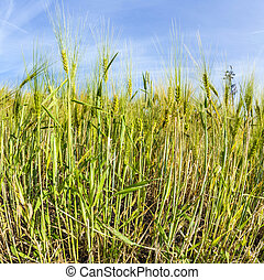 spica of wheat in corn field - spica of wheat in green corn...