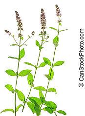 spicata), (mentha, menta verde