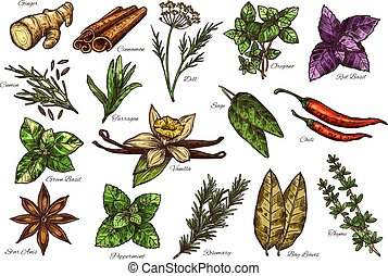 Spice, herb and green leaf vegetable sketch with names. Mint, rosemary and cinnamon, parsley, chilli pepper and ginger, dill, thyme and cardamom, basil, vanilla and star, bay leaf, oregano and cumin