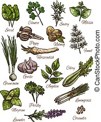 Spice, herb and fresh leaf vegetable sketch set of natural food seasoning. Green onion, rosemary and thyme, garlic, parsley and dill, nutmeg, coriander and sorrel, celery, marjoram and lemongrass