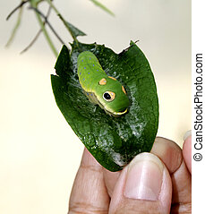 Spicebush Caterpillar - A spicebush caterpillar on a leaf...