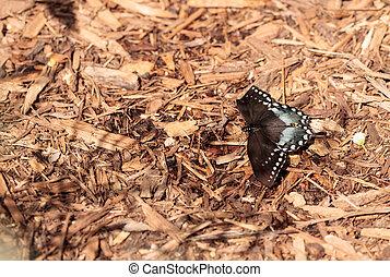 Spicebush swallowtail butterfly, Pterourus troilus