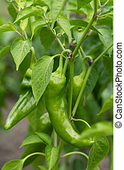 Spicy green pepper on the Bush