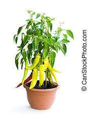 Spicy red and green pepper plant in the pot isolated on white