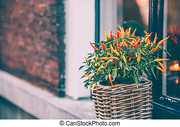 Spicy red pepper in a pot grows outdoors