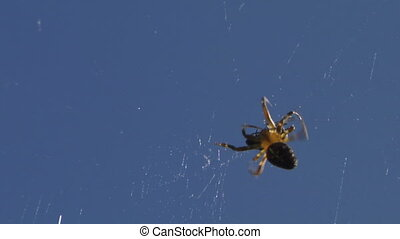 spider 06 - A Spider wrapping up an insect caught in its web
