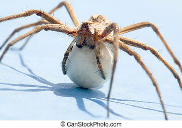 Spider - A spider with an egg sack. Back lite. Close up view...