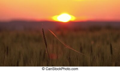 Spider and cobweb on the ears of wheat at sunset