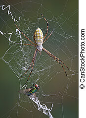 Spider and fly in web - An argiope spider has caught a fly...