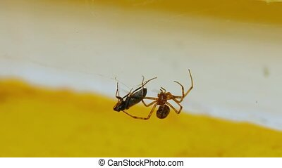Spider and prey - Spider wrapping its prey in web