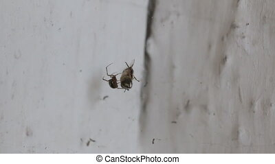 Spider and prey. The spider covers its prey with a spider ...