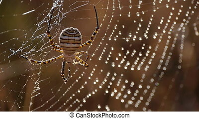 spider argiope - argiope spider with water drops on fabric...