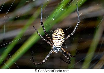 Spider, Argiope bruennichi - A spider, Argiope bruennichi,...