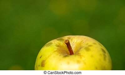 Spider Argiope bruennichi and apple